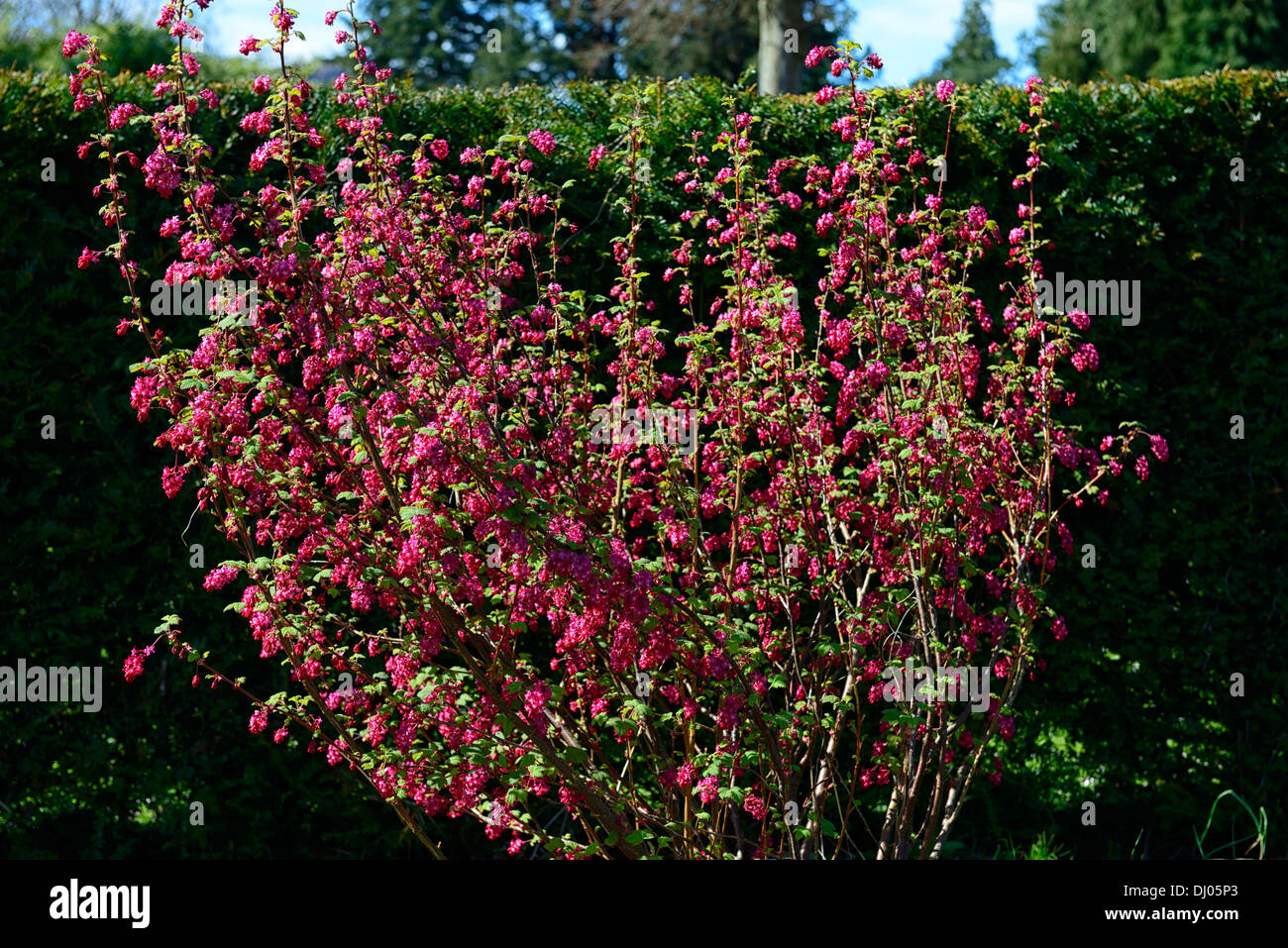 Flowering currant stock photos flowering currant stock images alamy ribes sanguineum superbum flowering currant closeup pink flowers plant portraits deciduous shrub shrubs currants stock mightylinksfo