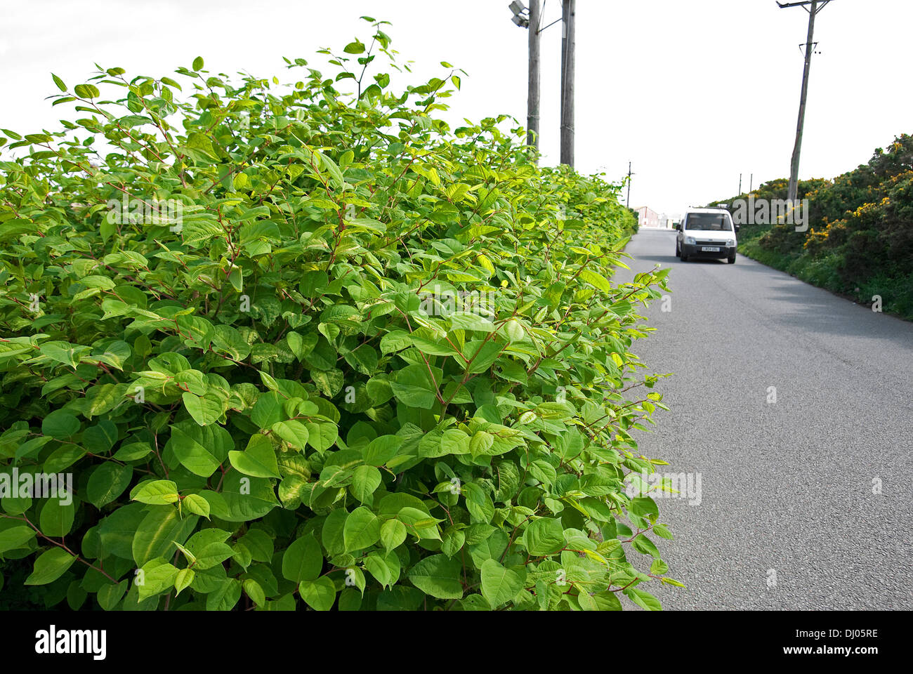 japanese knotweed growing by the roadside in a country lane - Stock Image