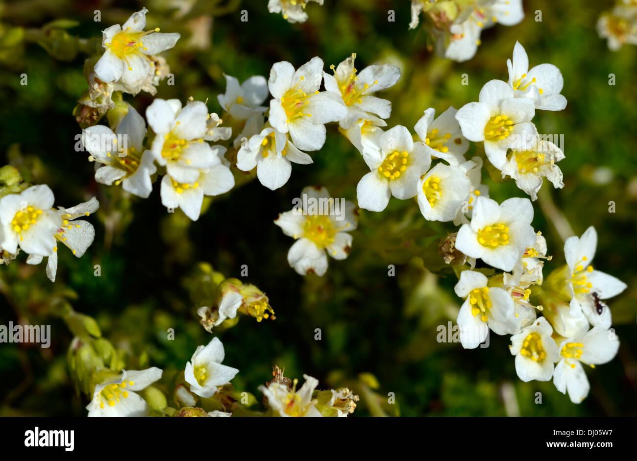 White mountain saxifrage saxifraga paniculata yellow white flowers white mountain saxifrage saxifraga paniculata yellow white flowers alpine plant mightylinksfo