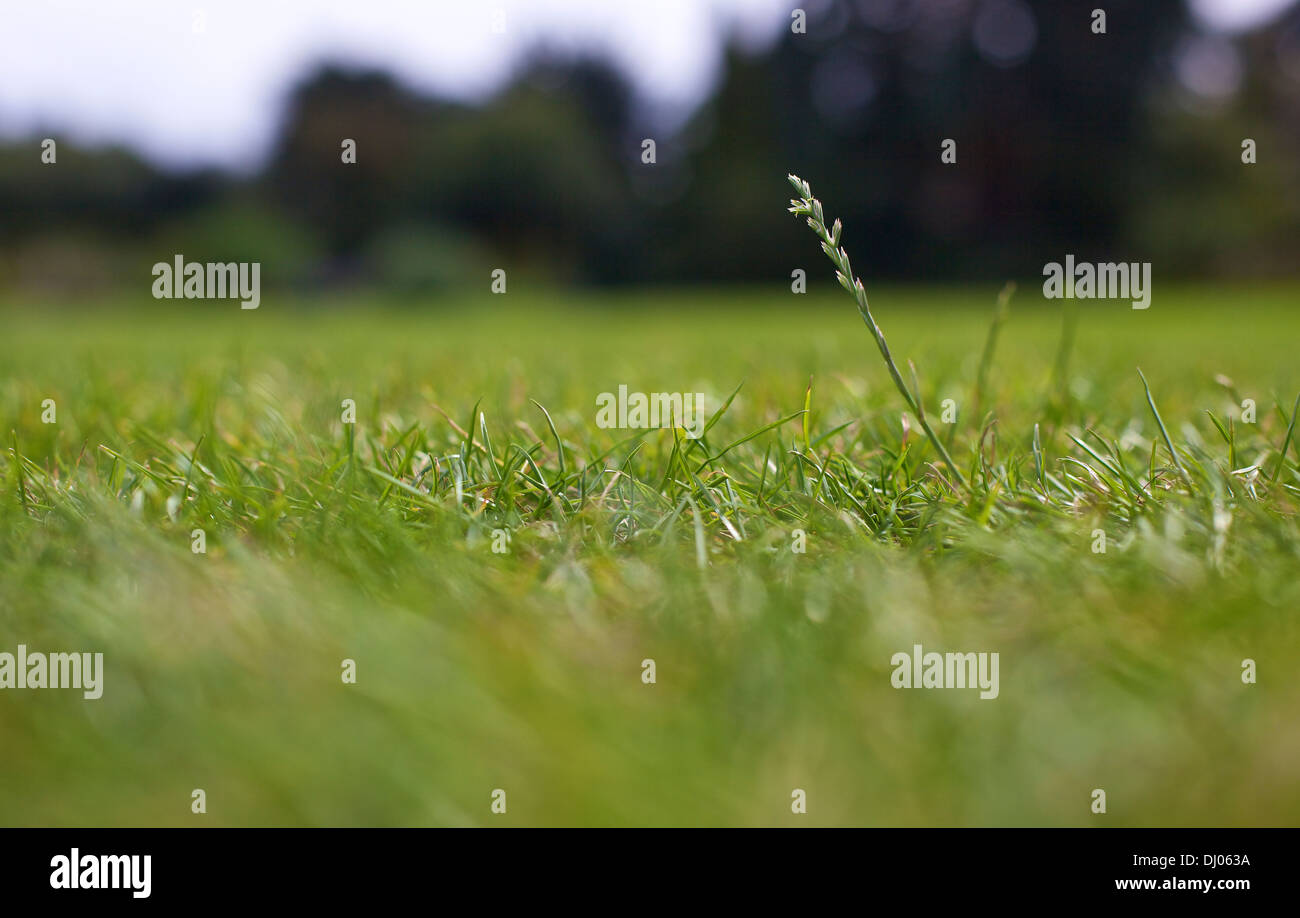 First amongst equals. Close up single blade of grass standing above the rest on a lawn outside Stock Photo