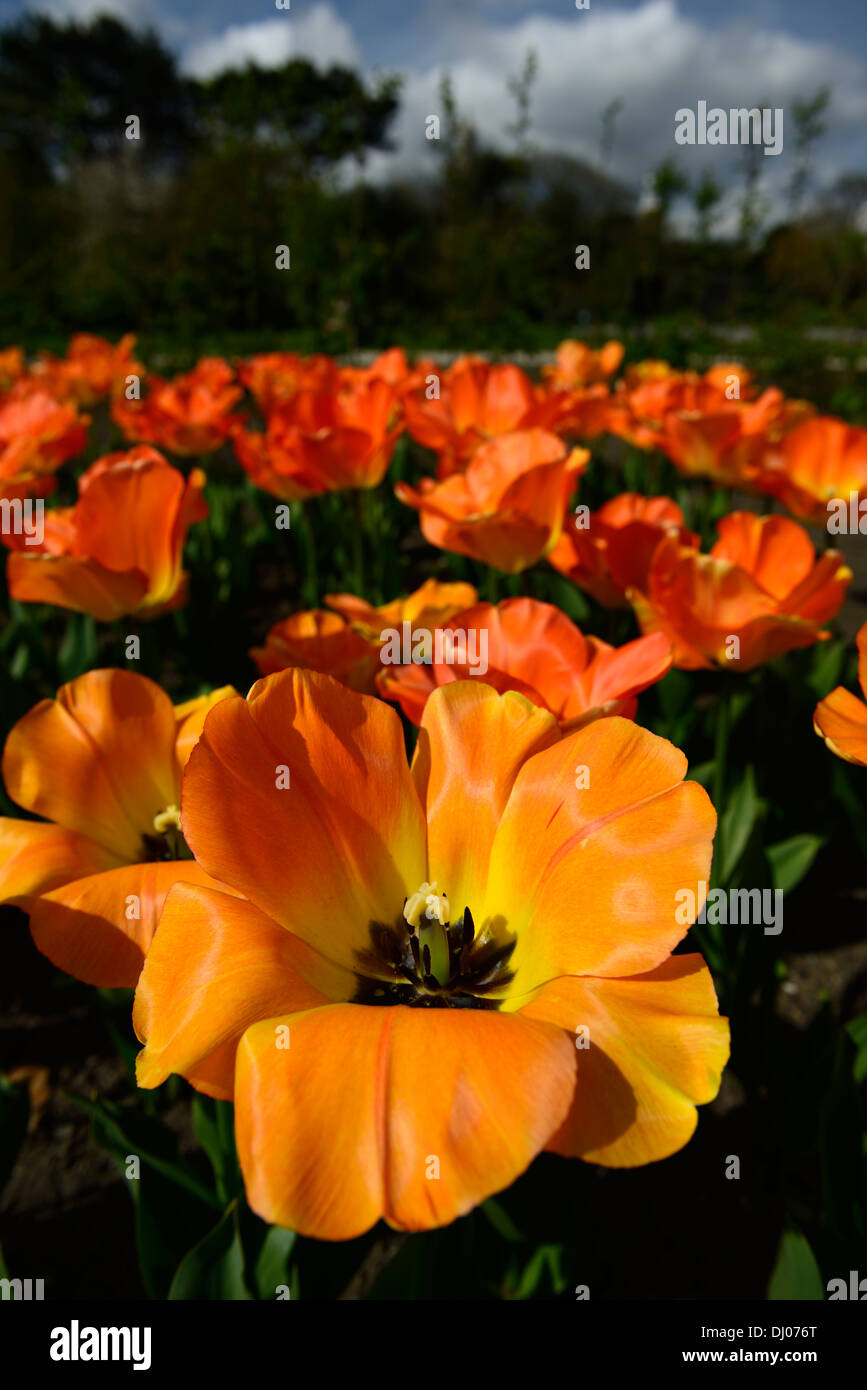 Tulipa Tulip daydream darwin hybrid group flowers spring flower bloom blossom Apricot Yellow Orange color colours - Stock Image