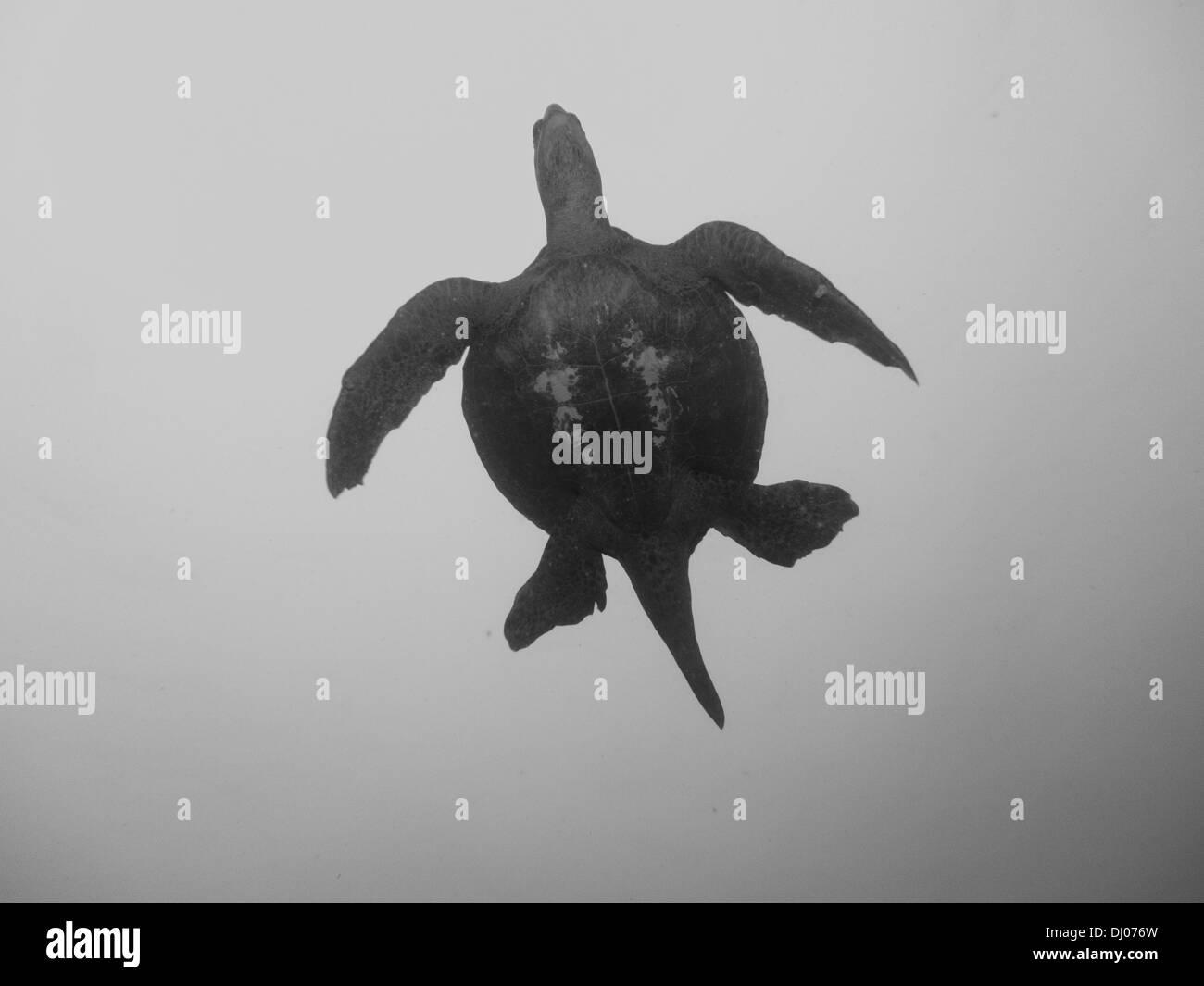 underwater, Costa Rica, Cocos Island, turtle, black and white, ocean, sea, scuba, diving, marine life, sea life - Stock Image