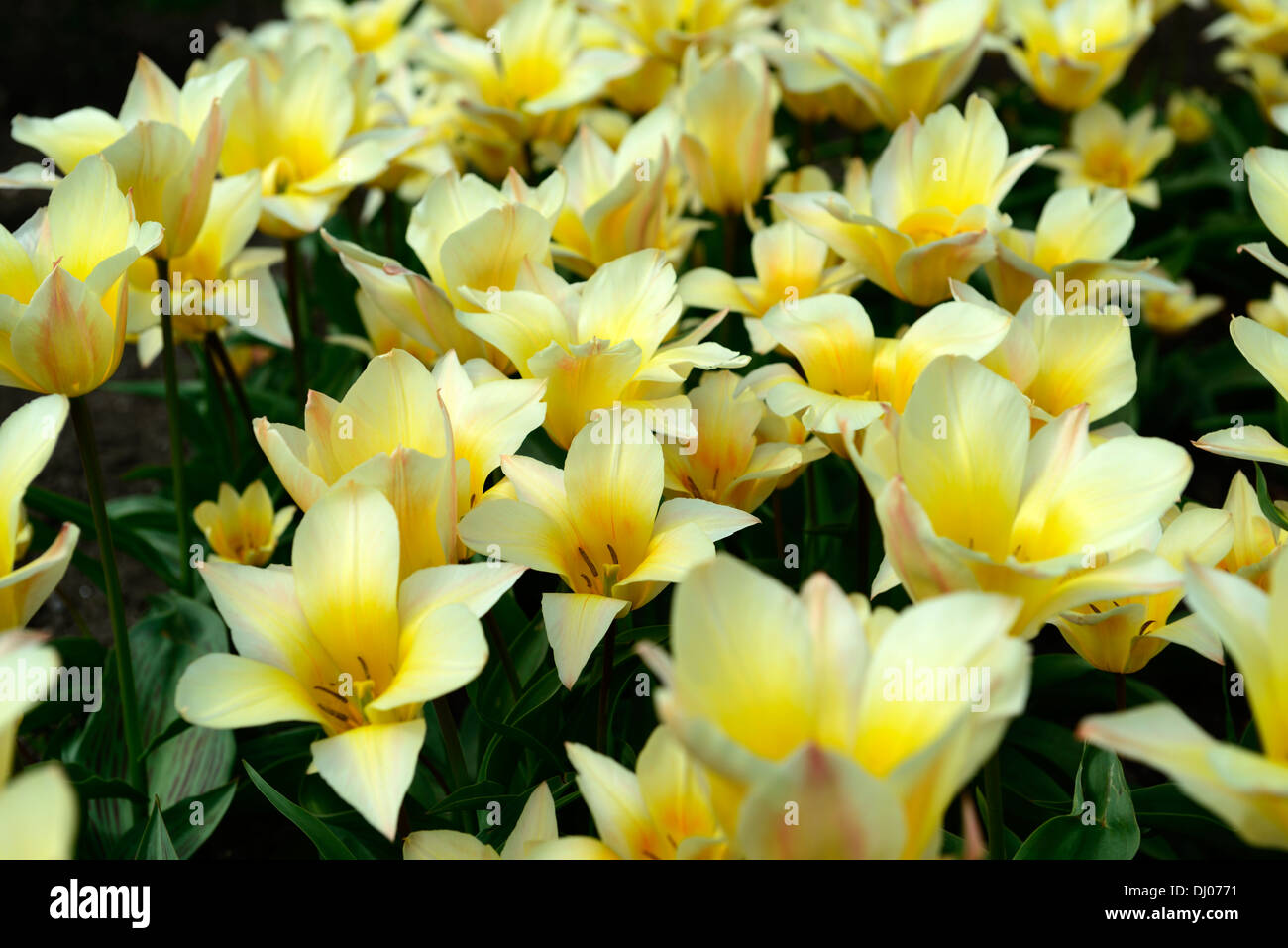 tulipa tulip fur elise greigii group 5 flowers spring bunch group cluster amber color yellow tone late spring - Stock Image