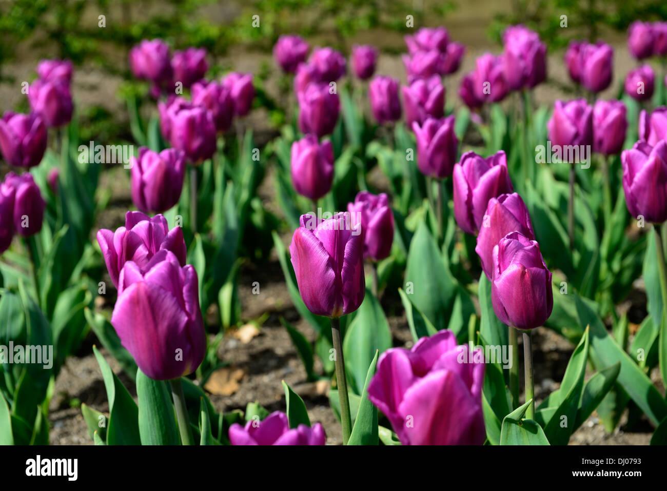 Tulipa negrita stock photos tulipa negrita stock images alamy tulipa negrita purple pink flowers flowering blooms spring early summer may tulips tulip stock image mightylinksfo