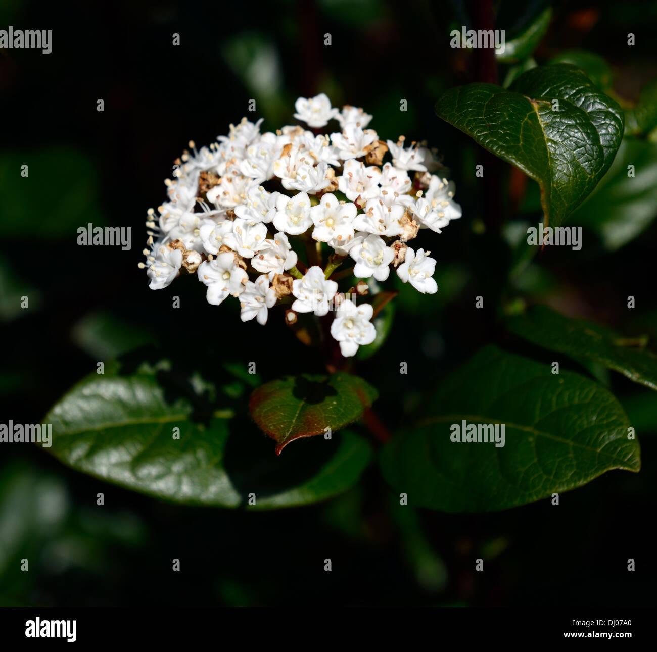 viburnum tinus var hirtum closeups plant portraits selective focus shrubs flowers white spring - Stock Image