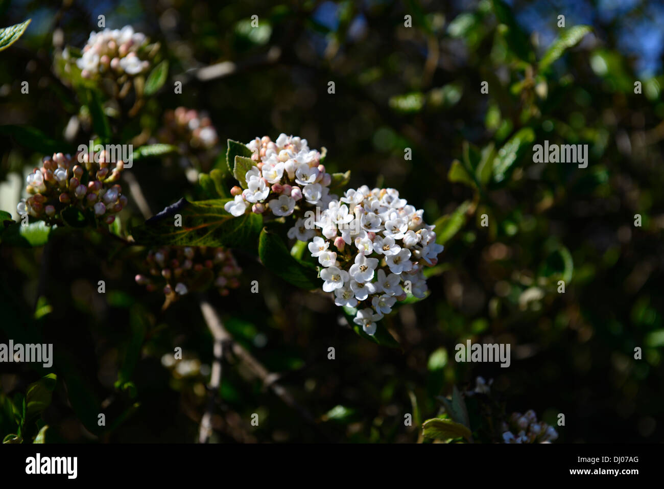 White Snowball Flowers Stock Photos White Snowball Flowers Stock