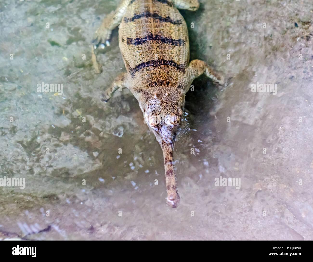 Crocodiles in captivity at Amo Chu crocodile Preservation Centre, Phuentsholing, Bhutan - Stock Image