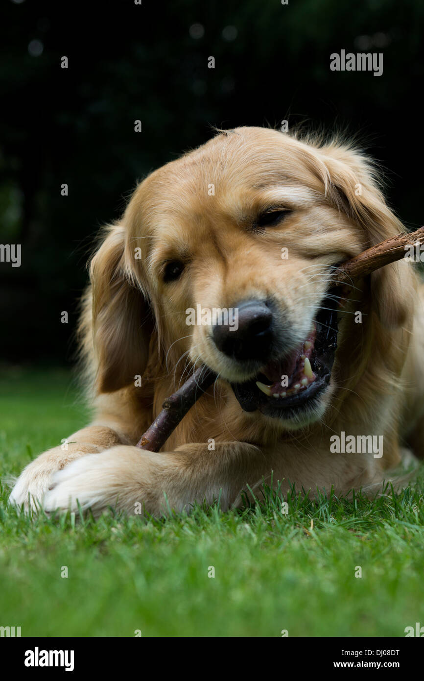 golden retriever Labrador playing outside stick Stock Photo