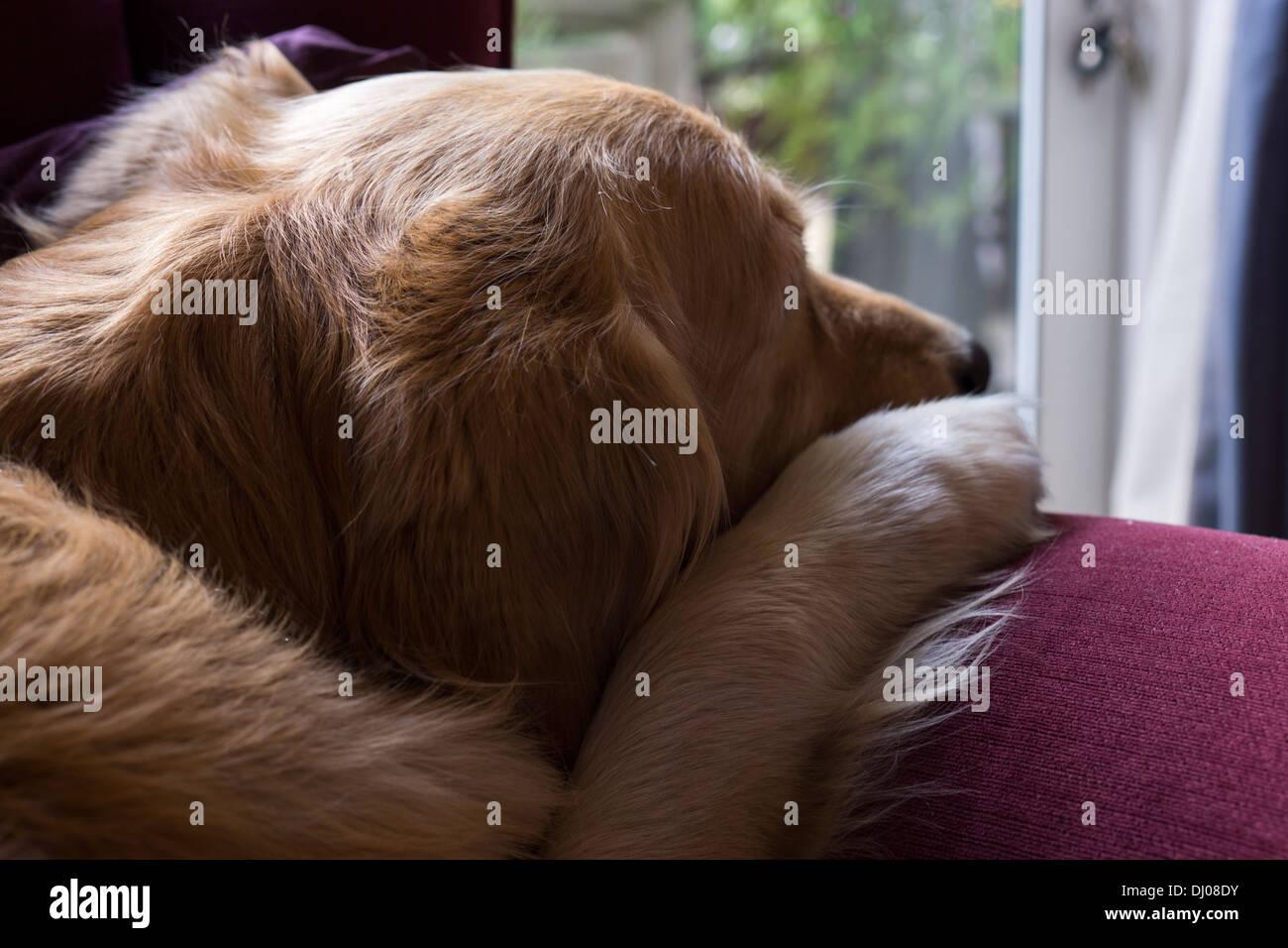 golden retriever Labrador dog face teeth playing Stock Photo
