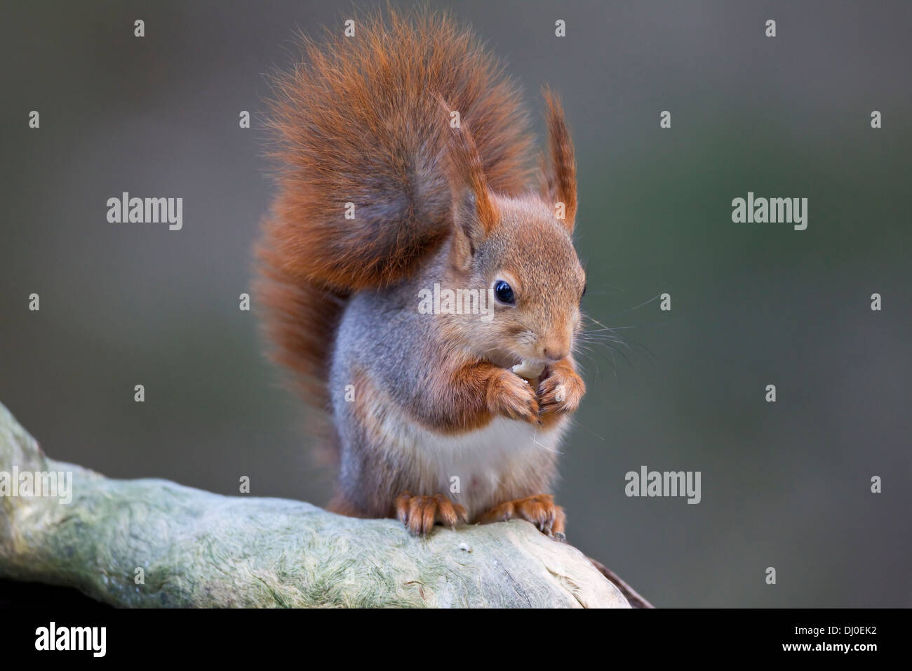 Cute Red Squirrel Sciurus vulgaris eating a hazel nut on a tree branch Stock Photo