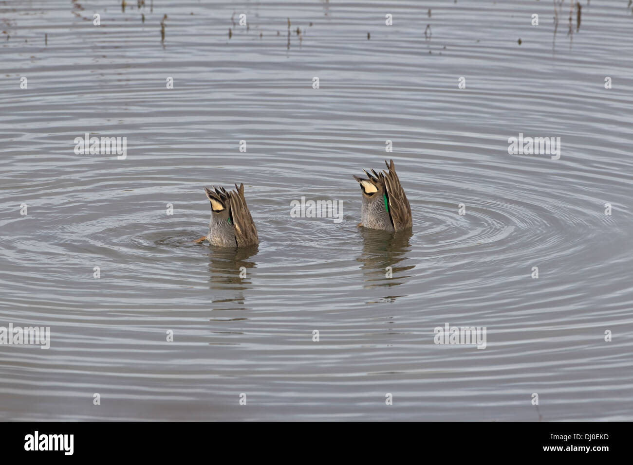 Two teal ducks Anas Crecca diving in unison with their bottoms in the air Stock Photo