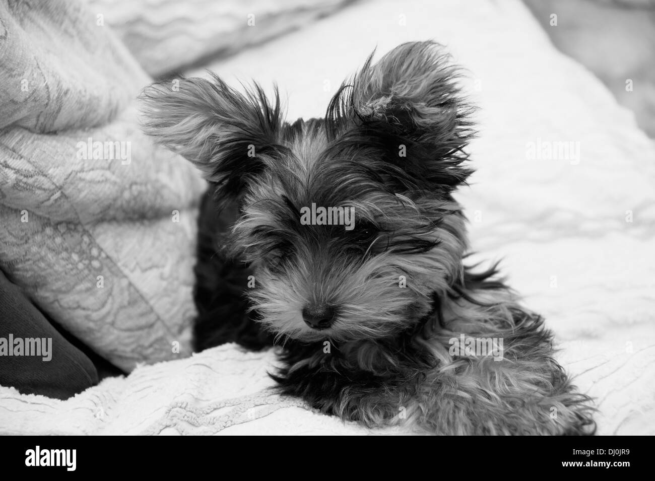 cute yorkshire terrier puppy dog - Stock Image