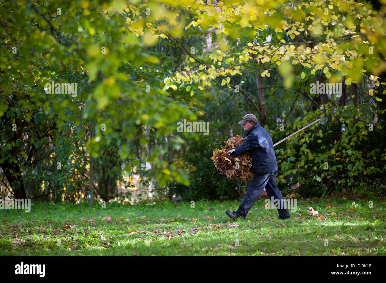Autumn Colours in grounds of King's College, Cambridge, England. 15_11_2013 A gardener clears autumn leaves - Stock Image