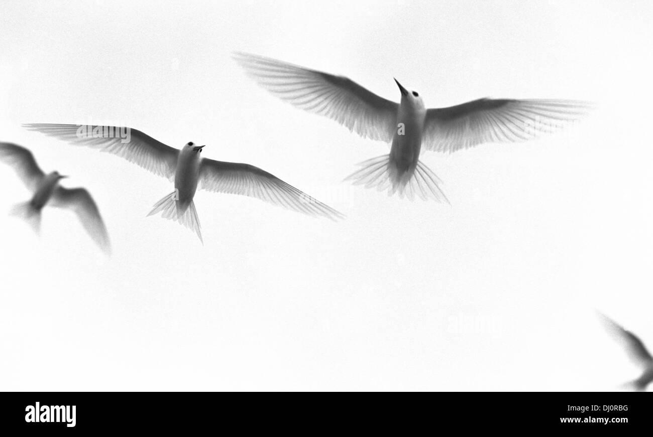 White tern. Raroia. Tahiti - Stock Image