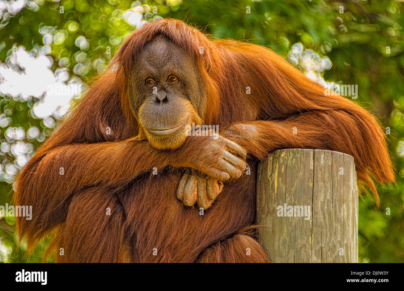The orangutans are the two exclusively Asian species of extant great apes. Native to Indonesia and Malaysia. Stock Photo