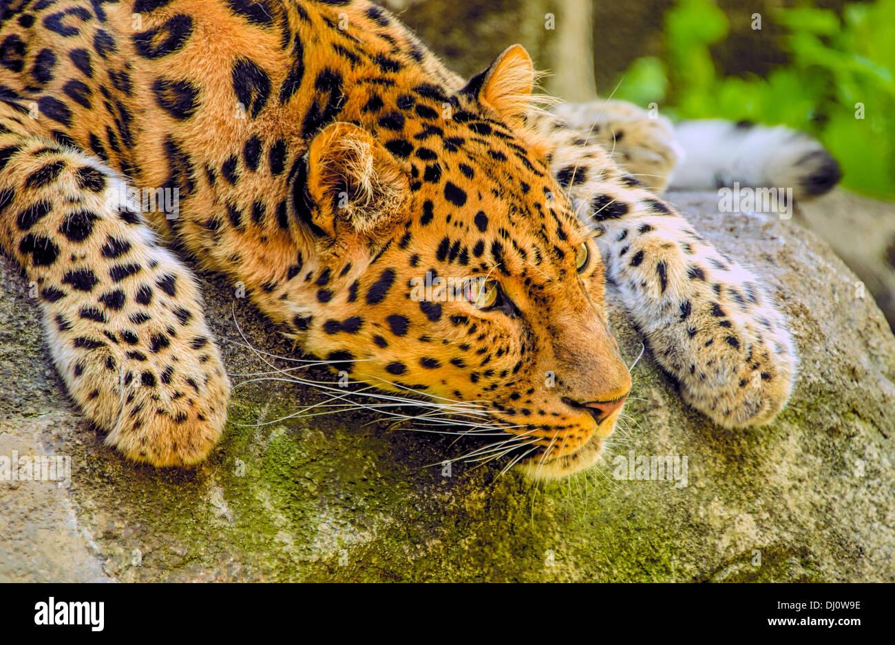 The Amur leopard (Panthera pardus orientalis) is a leopard subspecies Stock Photo