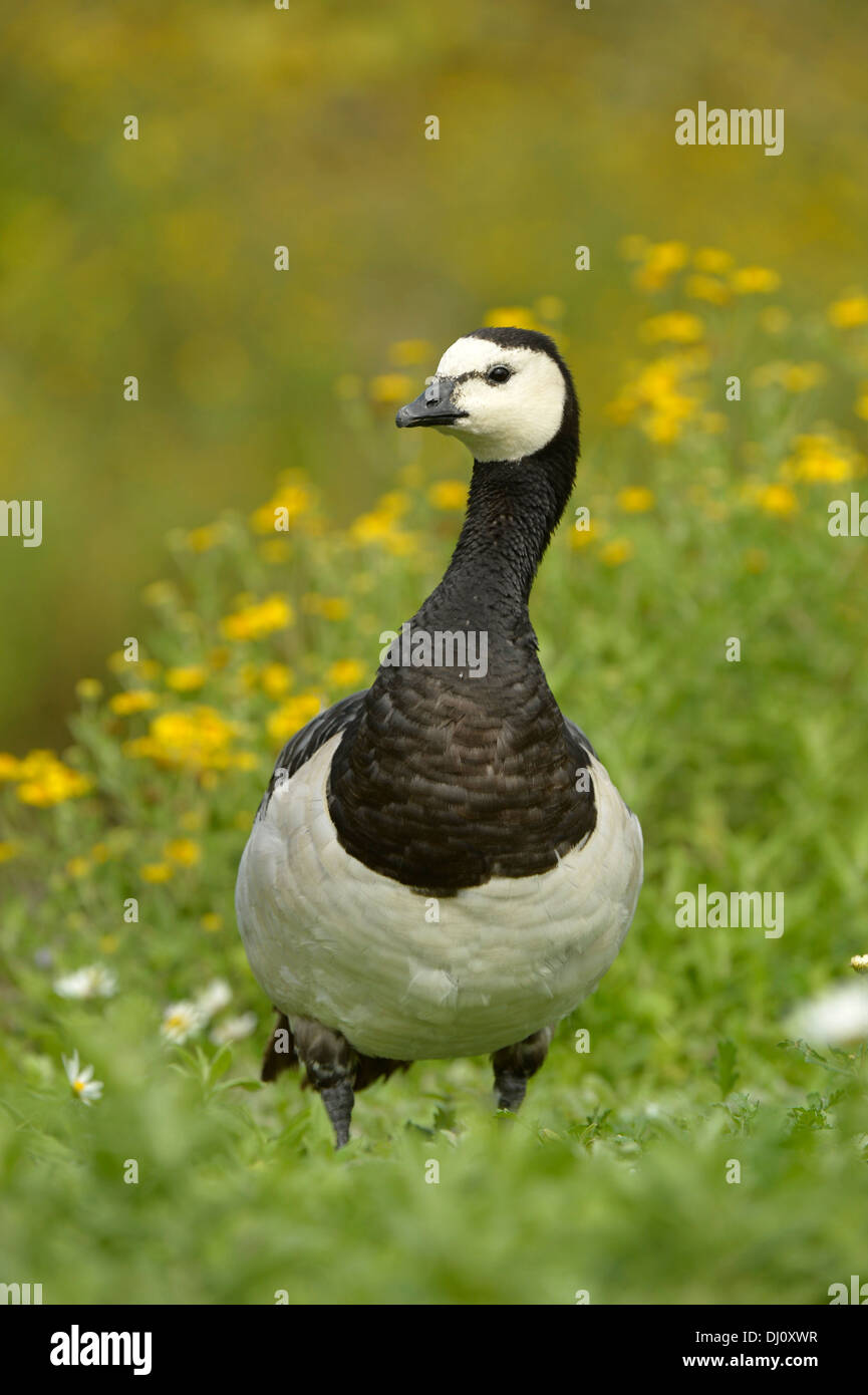 Barnacle Goose, (Branta canadensis) Slimbridge, England, August - Stock Image
