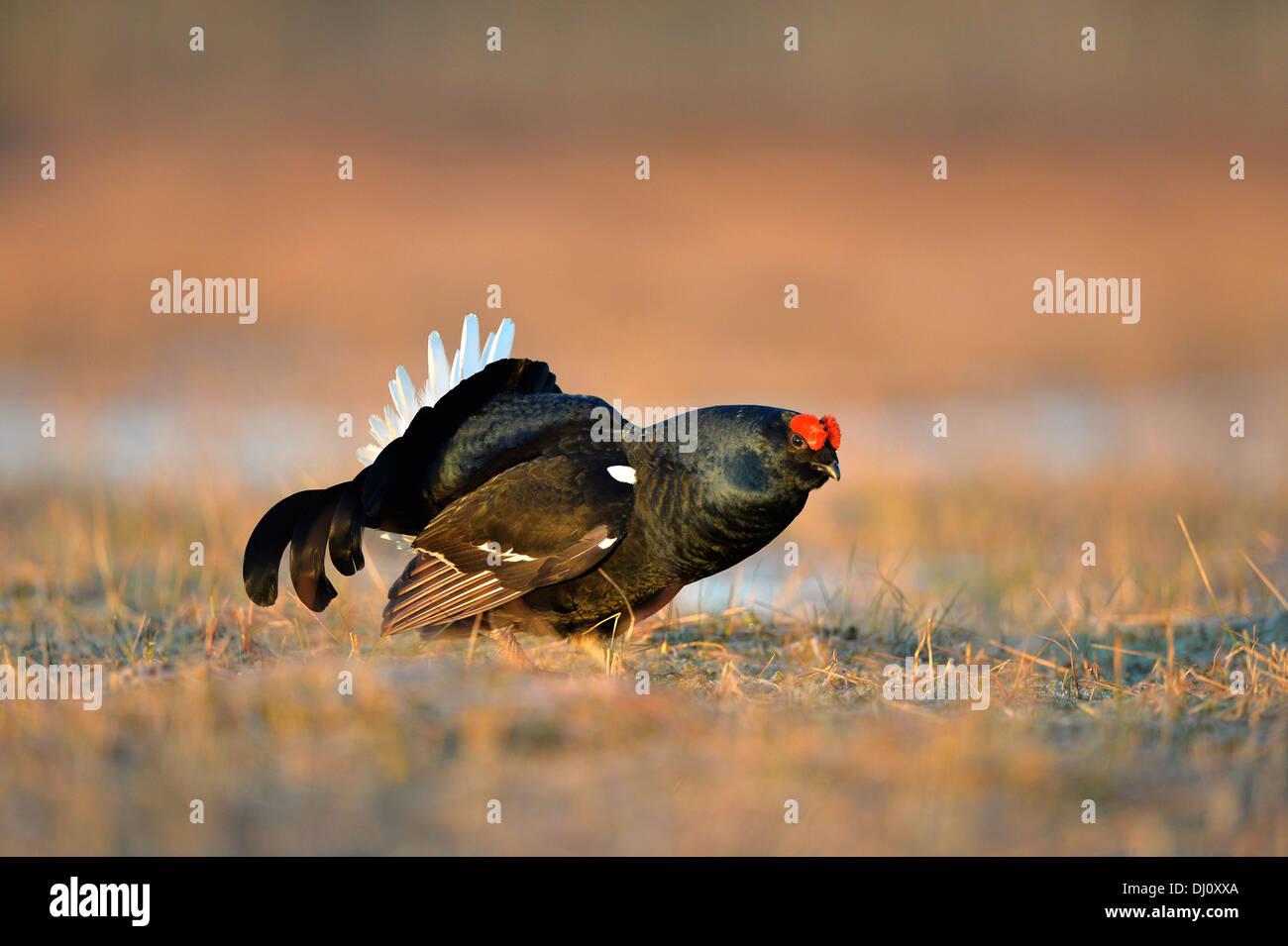 Black Grouse (Tetrao tetrix) male displaying at lek, Finland, April - Stock Image
