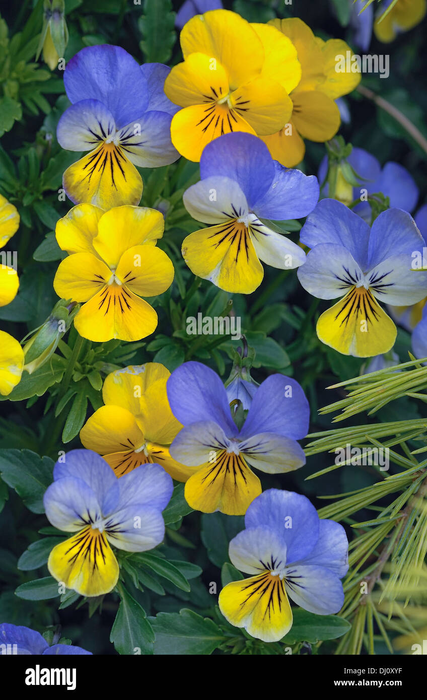 The viola is a genus of flowering plants in the violet family Violaceae. It is the largest genus in the family, - Stock Image