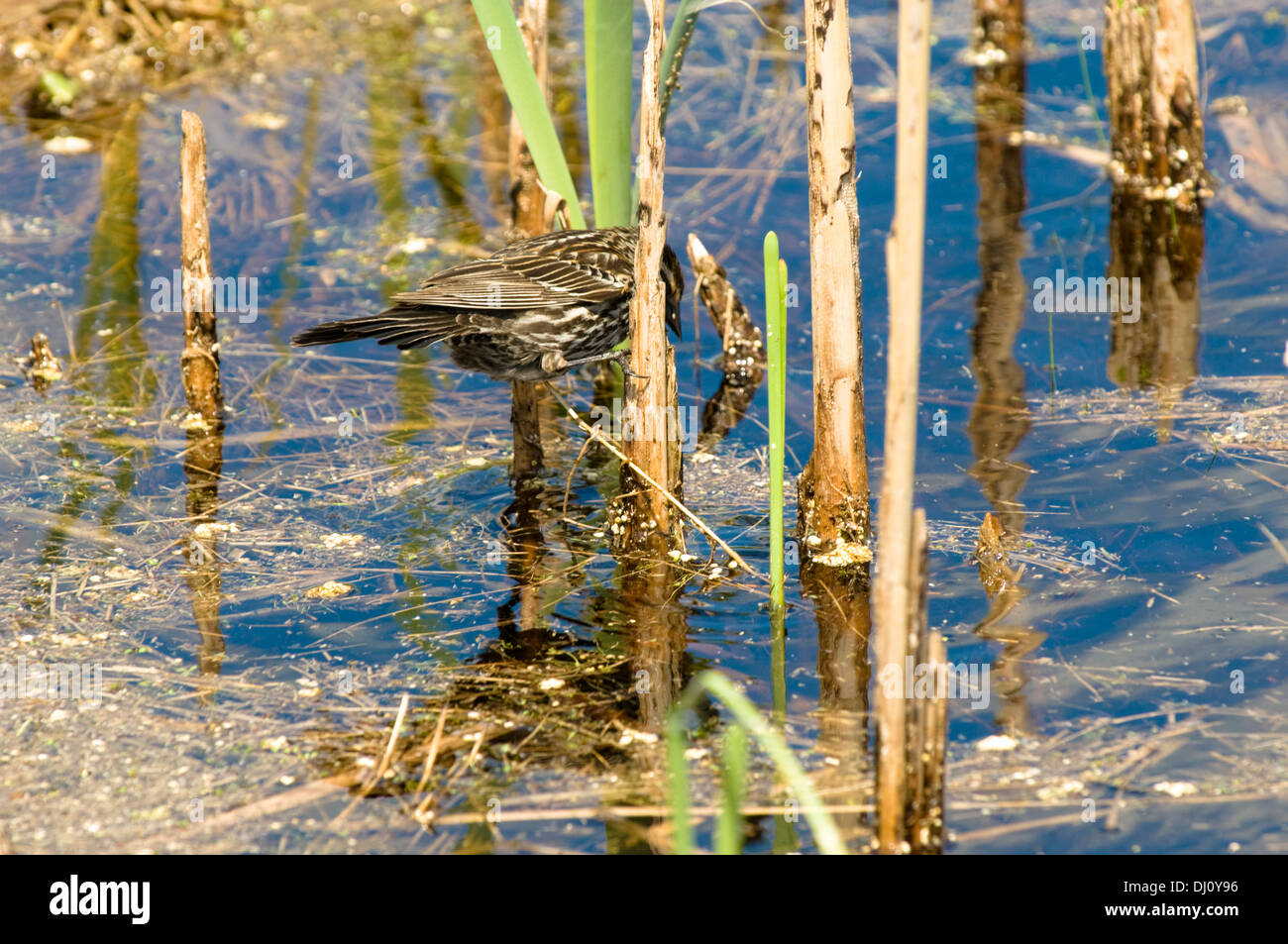 A thrasher bird searches for food in the reeds of a marsh at the Volo Bog in northern Illinois, USA. - Stock Image