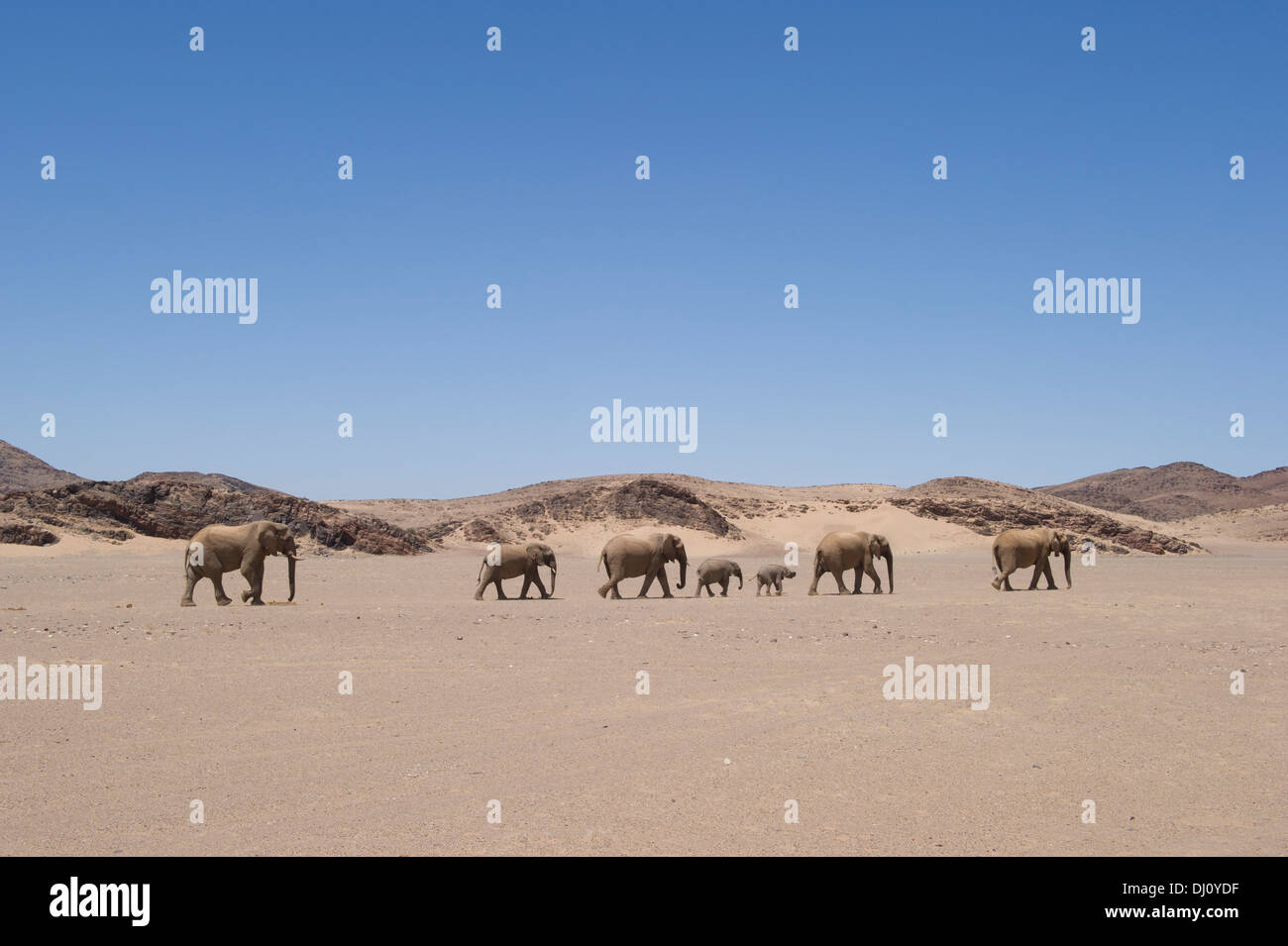 Elephants of desert crossing a sand area at Hoanib river, Namibie - Stock Image