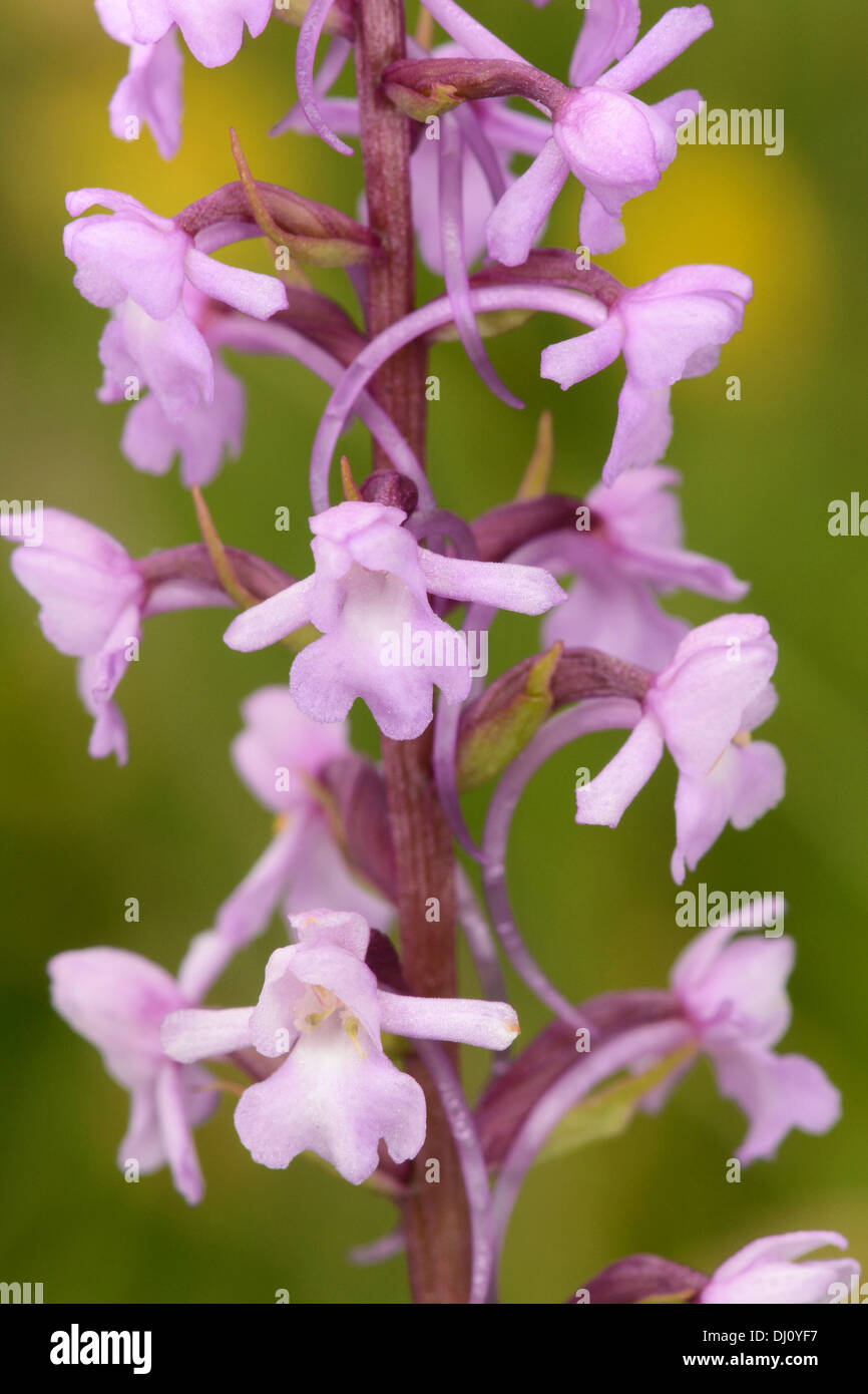 Common or Chalk Fragrant Orchid (Gymnadenia conopsea) close-up of flower spike, Buckinghamshire, England, July - Stock Image