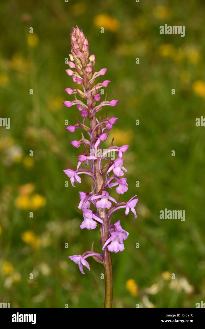 Common or Chalk Fragrant Orchid (Gymnadenia conopsea) flower spike, Buckinghamshire, England, July - Stock Image