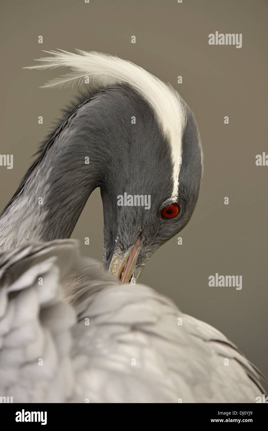 Demoiselle Crane (Anthropoides virgo) portrait, Slimbridge, England, August, captive - Stock Image