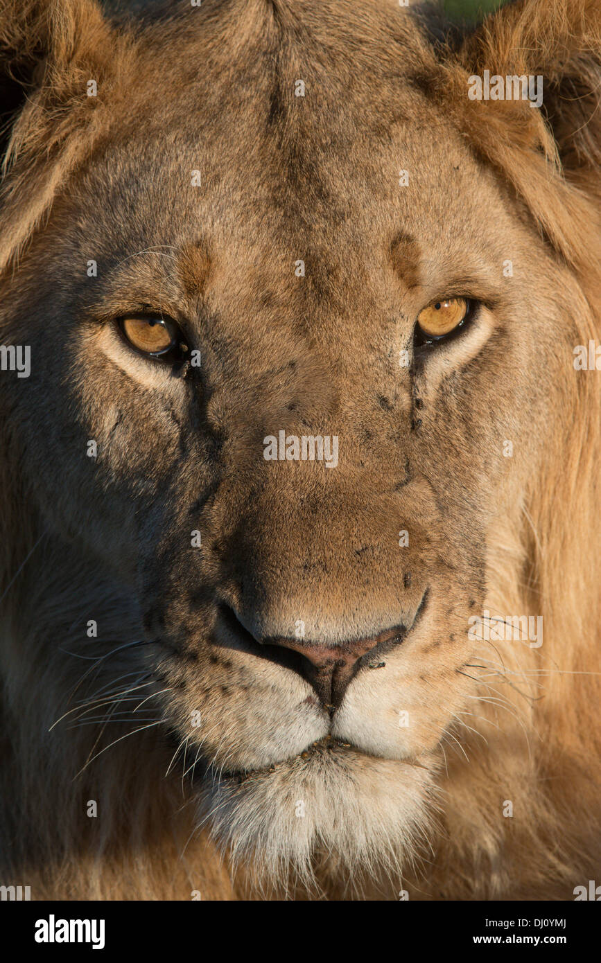 Lion mâle, portrait. Ndutu, Tanzanie - Stock Image