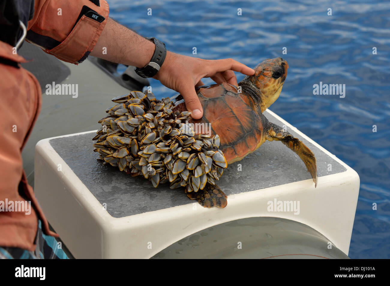 Loggerhead Turtle (Caretta caretta) rescued, out of water, rear covered in goose barnacles, unable to dive, The Azores, June Stock Photo
