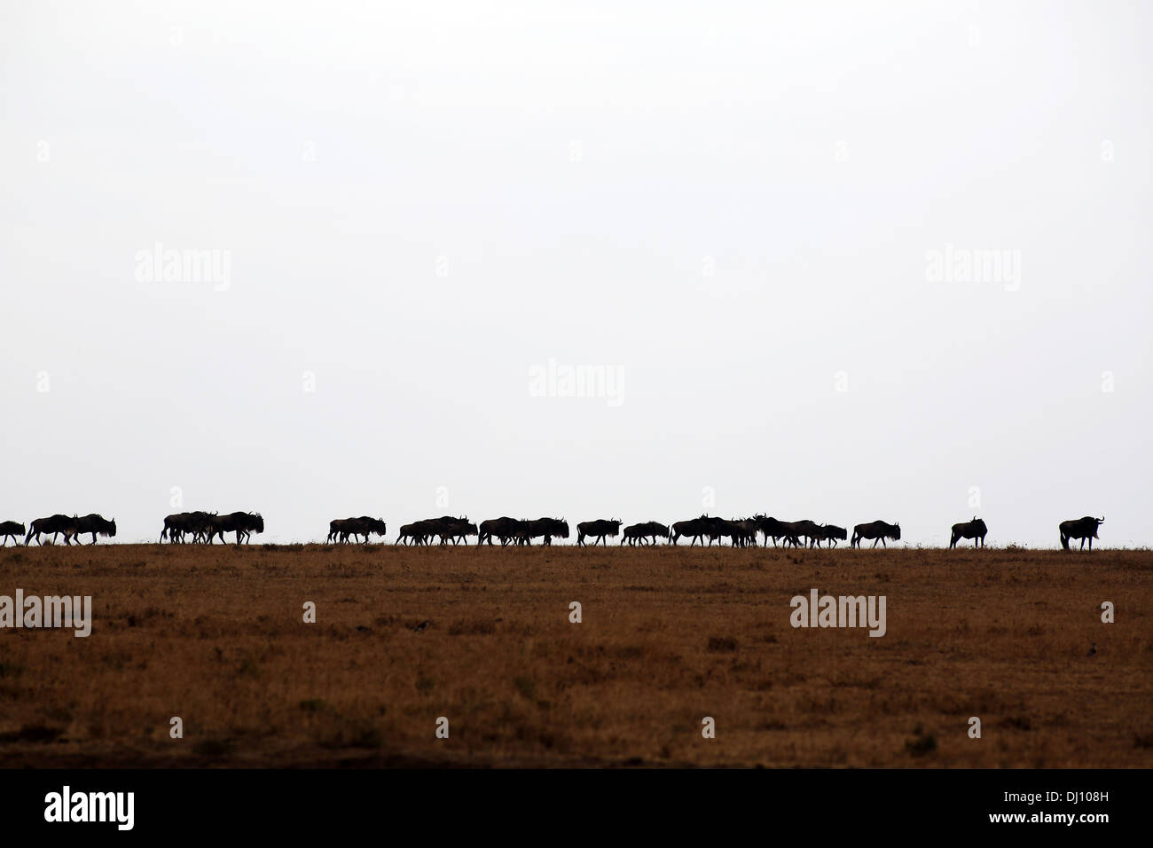 Wildebeest on the run during the Great Migration at the Maasai Mara plains. - Stock Image