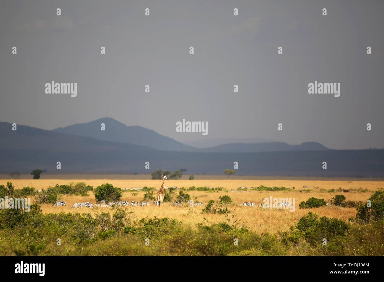 Zebras and a giraffe at sunset in the Maasai Mara plains. - Stock Image