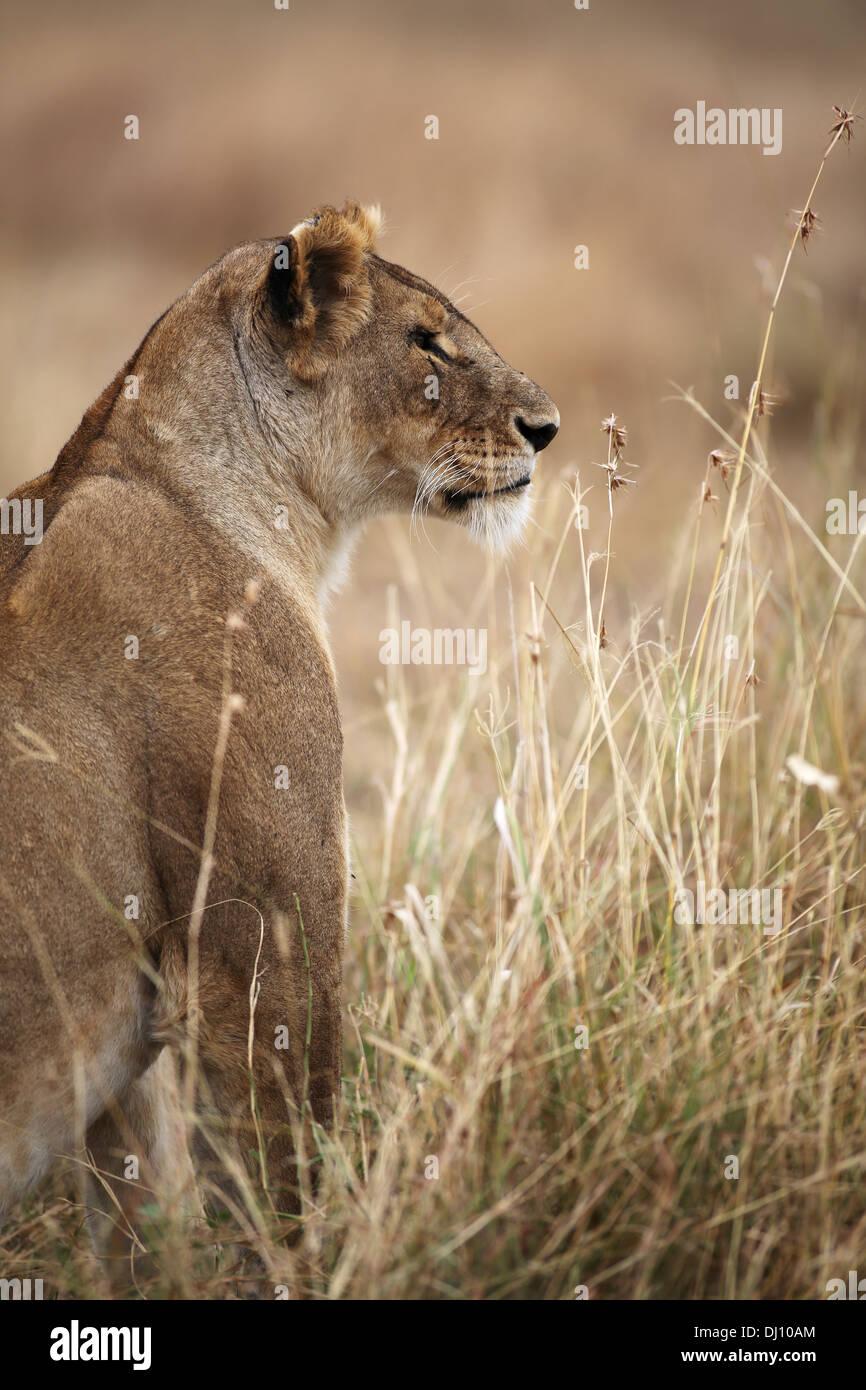 A lioness scanning the horizon through dry grass at the Maasai Mara plains, Kenya - Stock Image