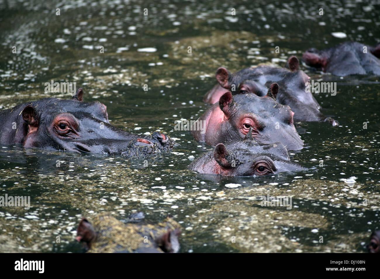 A pod of hippos (Hippopotamuses) in the water at the Maasai Mara, Kenya - Stock Image