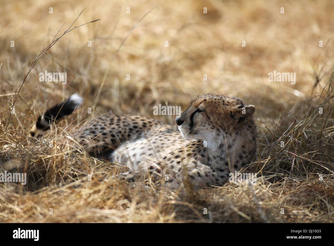 A cheetah resting in the shade, Maasai Mara plains, Kenya - Stock Image