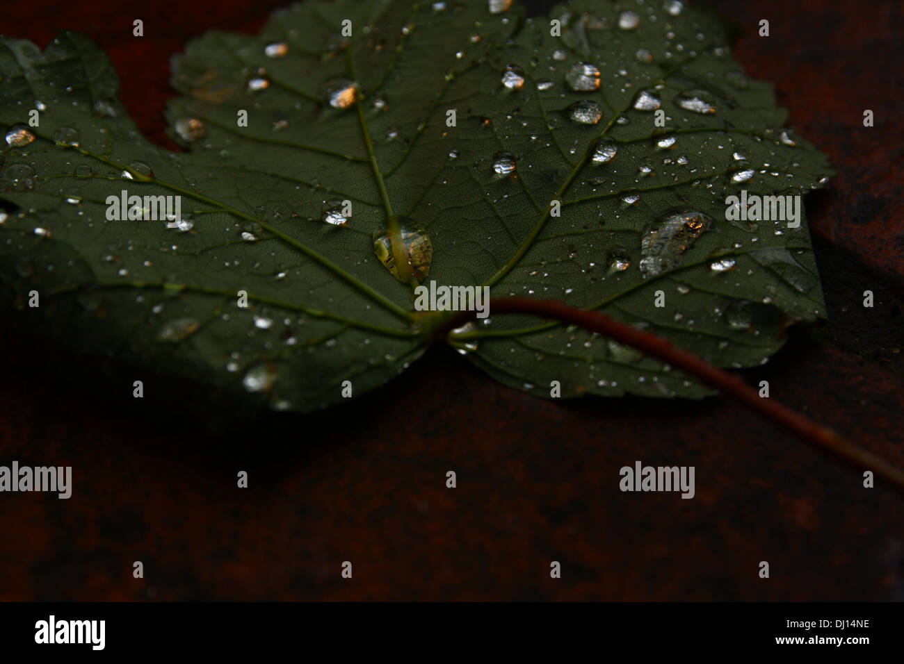 A maple leaf spotted with glistening water droplets - Stock Image