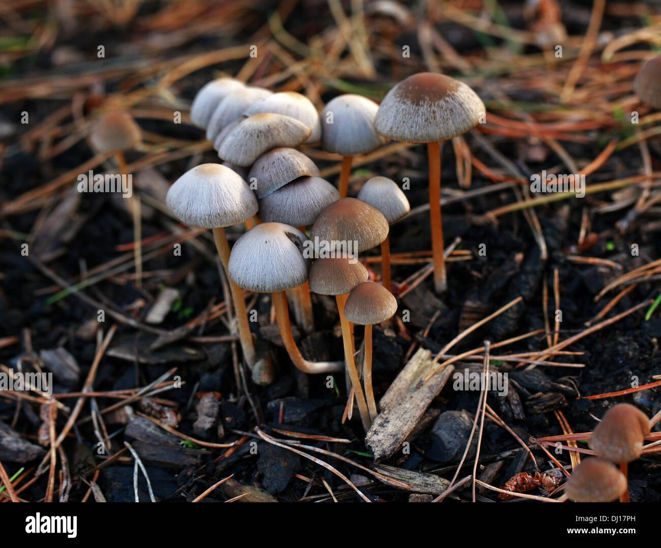 Reddish-spotted Mycena Mushrooms, Mycena maculata, Mycenaceae. Growing on Pine Bark Chippings. - Stock Image