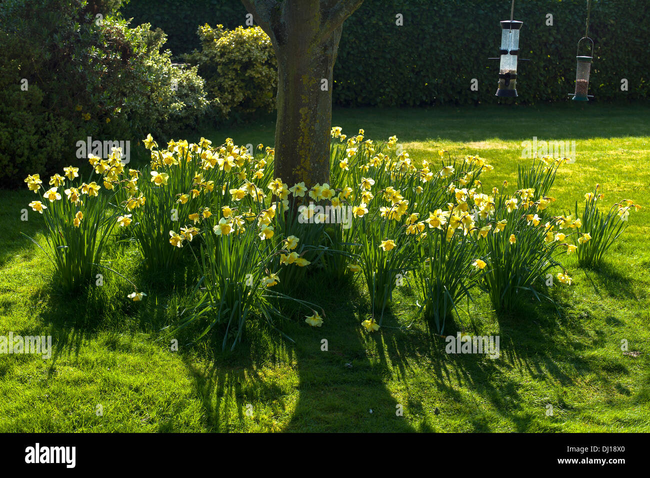 Daffodils naturalised and flowering in a lawn in UK - Stock Image