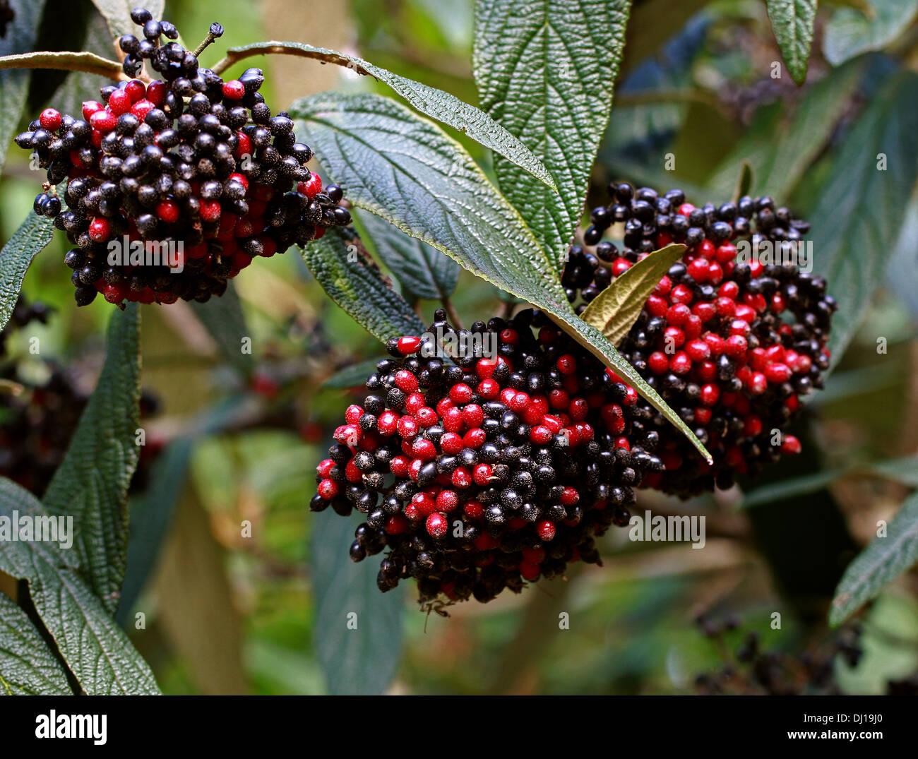 Wayfaring Tree, Hoarwithy, Twistwood Meal Tree, Viburnum lantana, Adoxaceae. Red and Black Berries. Stock Photo