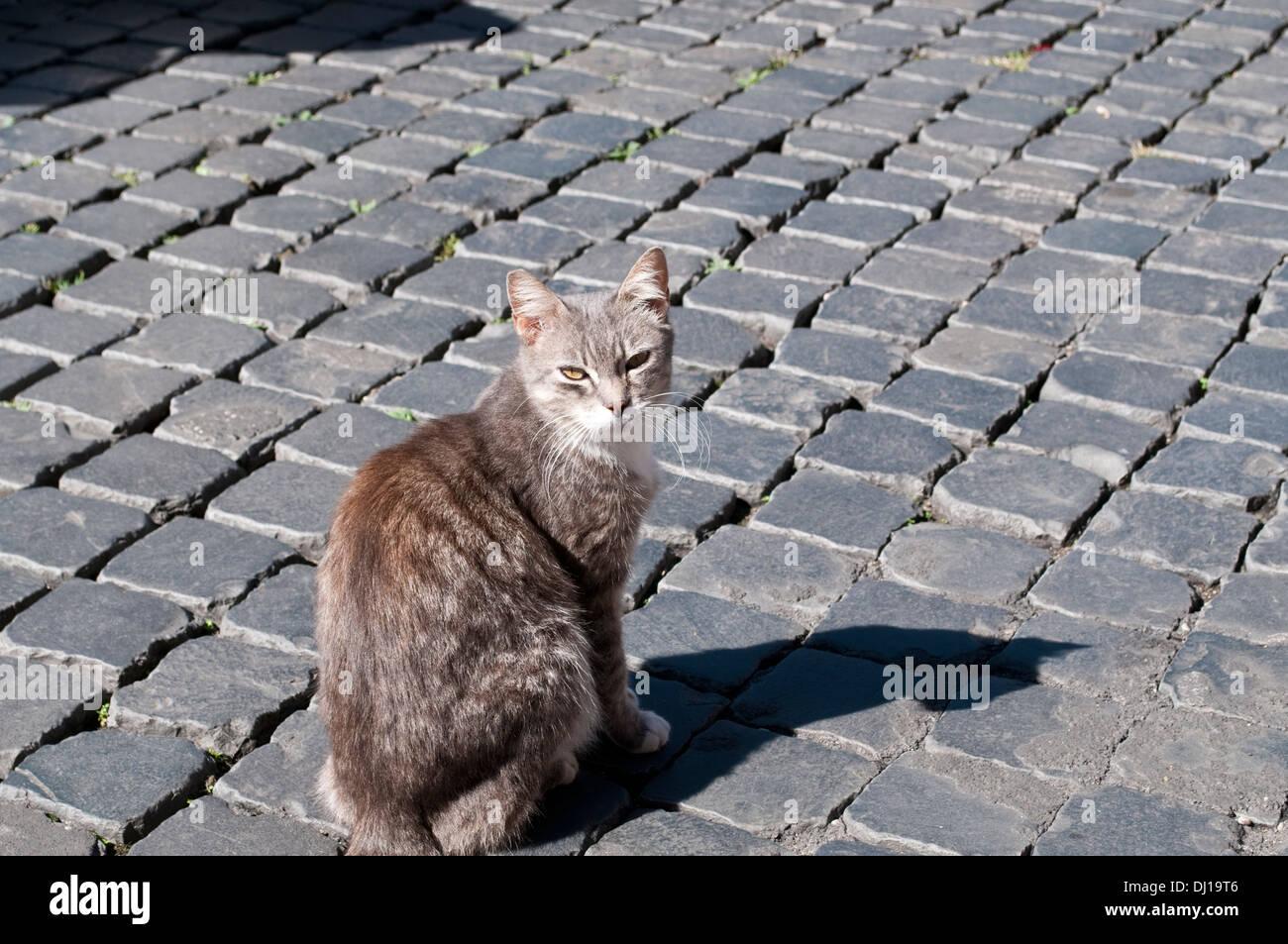Cat from cat sanctuary at Largo di Torre Argentina, Campus Martius, Rome, Italy - Stock Image