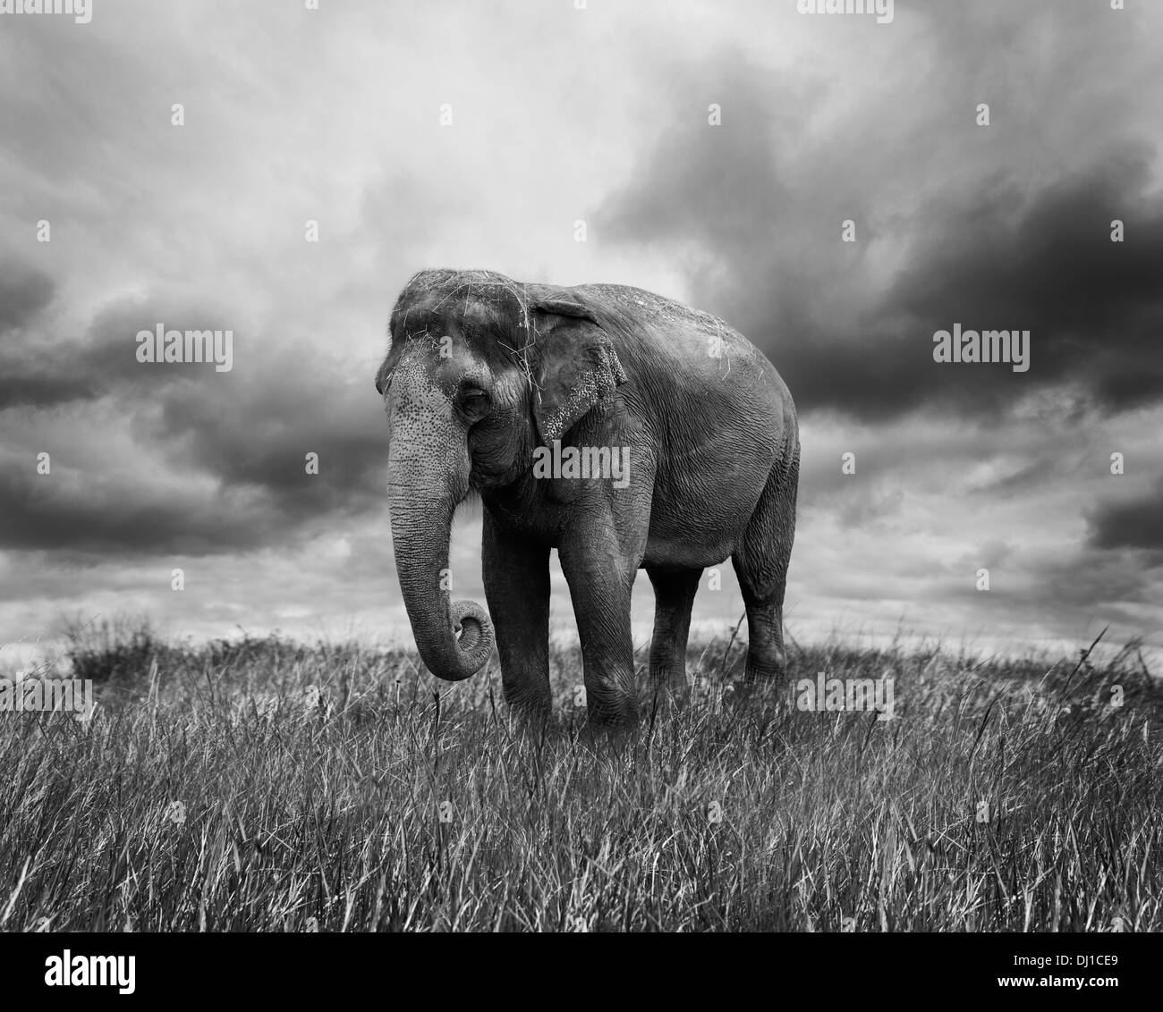 Elephant Walking On The Grass - Stock Image