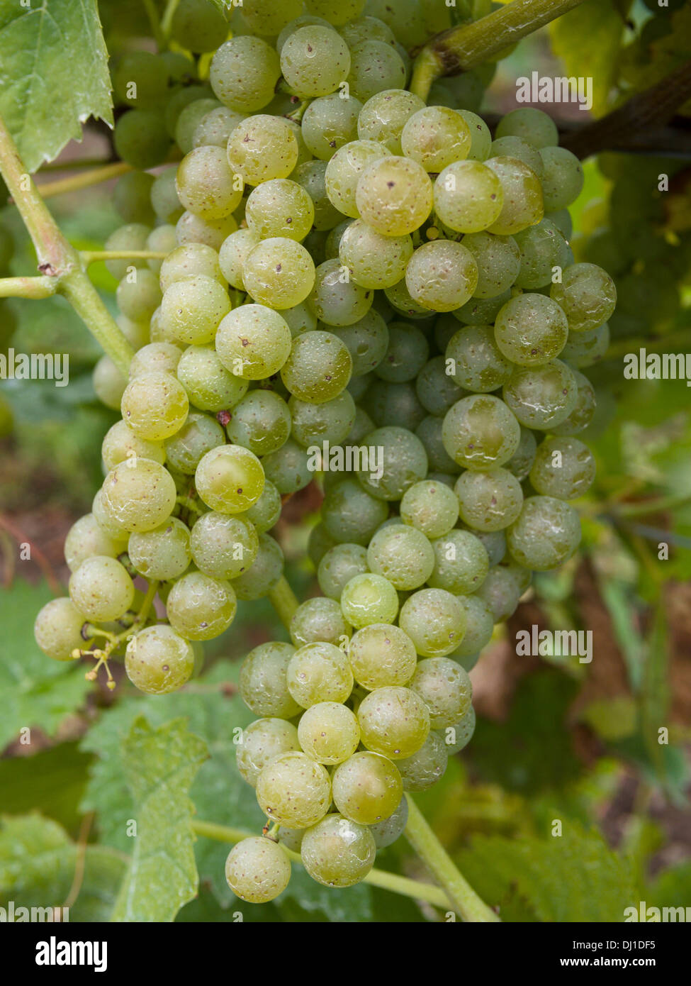 A Double bunch of Vidal Grapes on the vine. An abundance of plump green grapes hang from a grape vine. Stock Photo