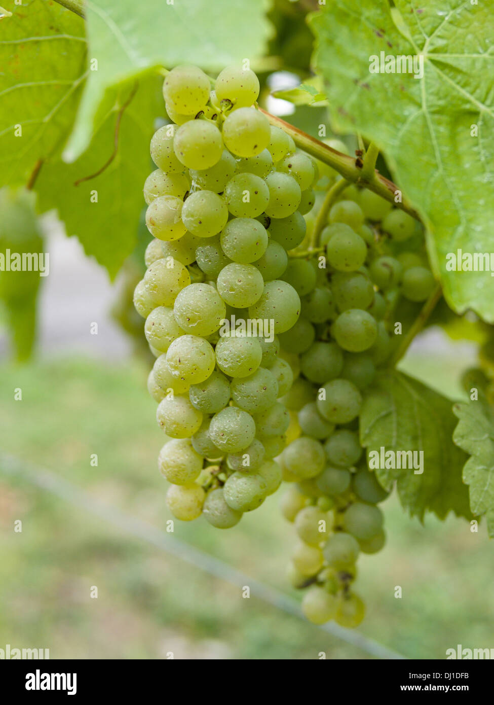 A bunch of Vidal Grapes on the vine. Vidal grapes are a common variety grown in Prince Edward County. - Stock Image