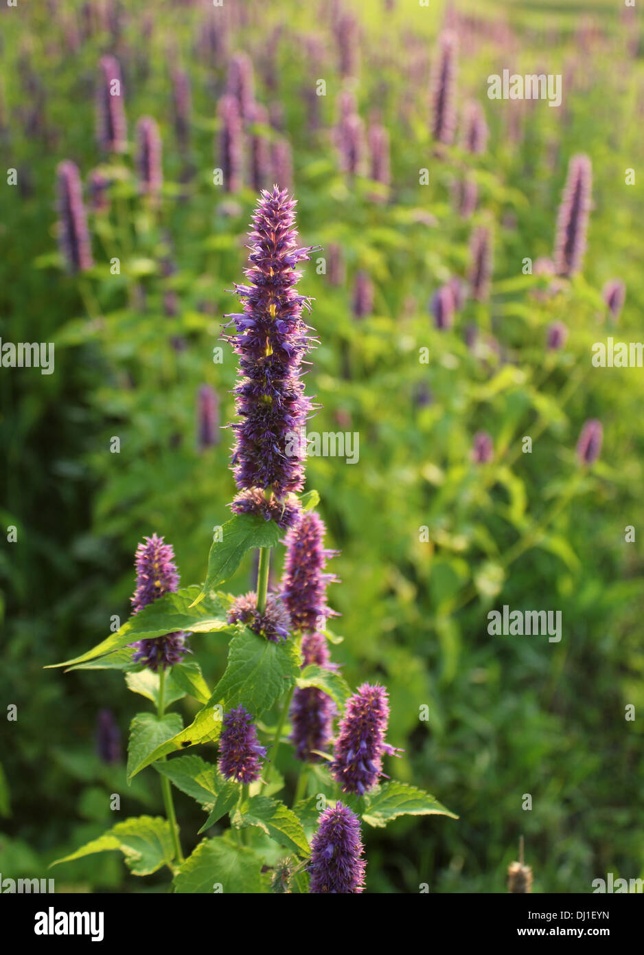Blooming flower (giant hyssop ) - Stock Image