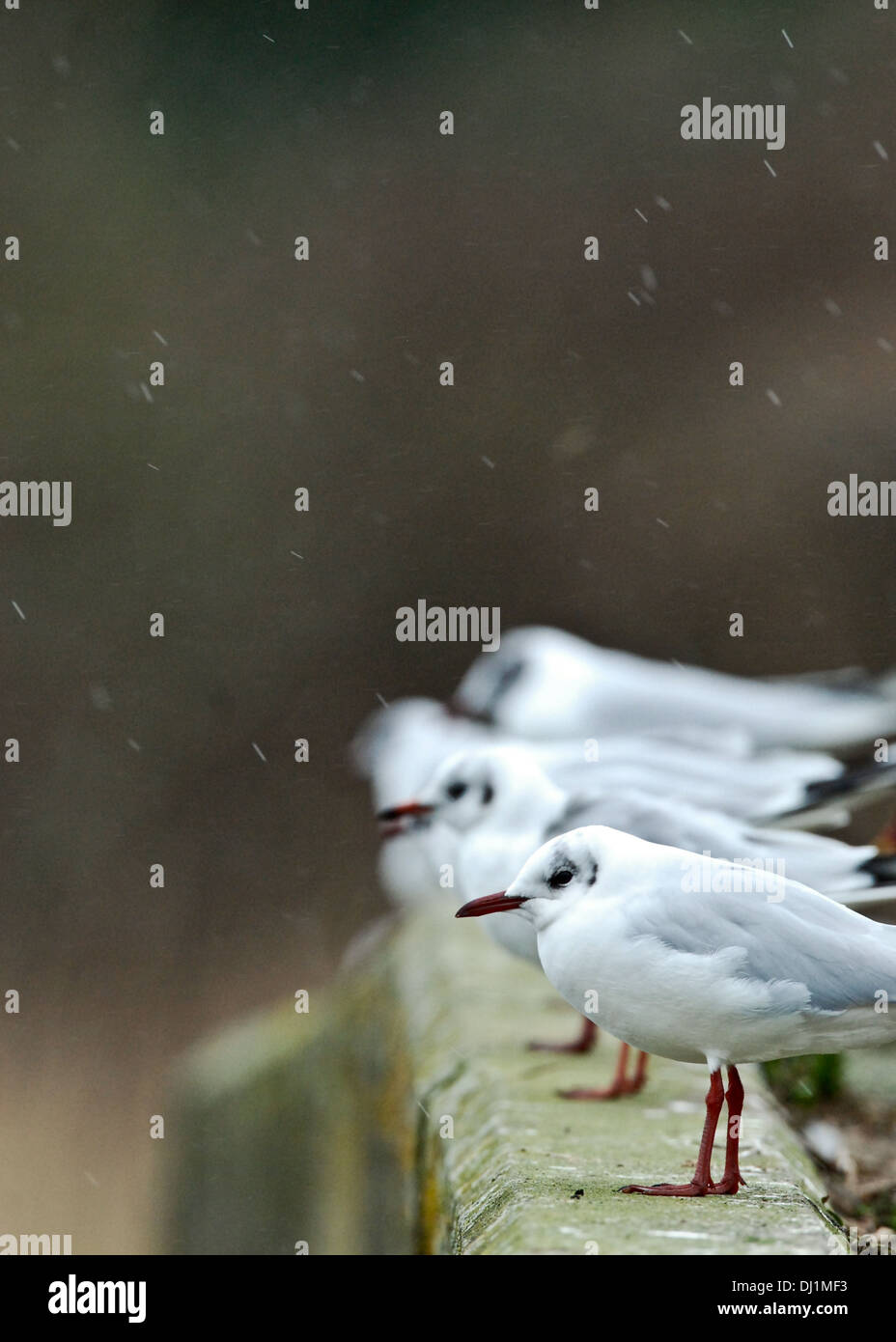 Black Headed Gulls (Chroicocephalus ridibundus) sitting in a line on a wall in the sleet and snow, Cornwall, England. - Stock Image