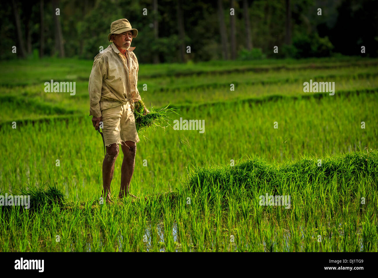 Farmer checking his rice,  Ubud Region, Indonesia - Stock Image