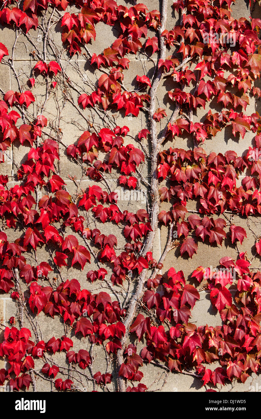 Boston Creeper growing on stone wall and showing autumn colours. - Stock Image