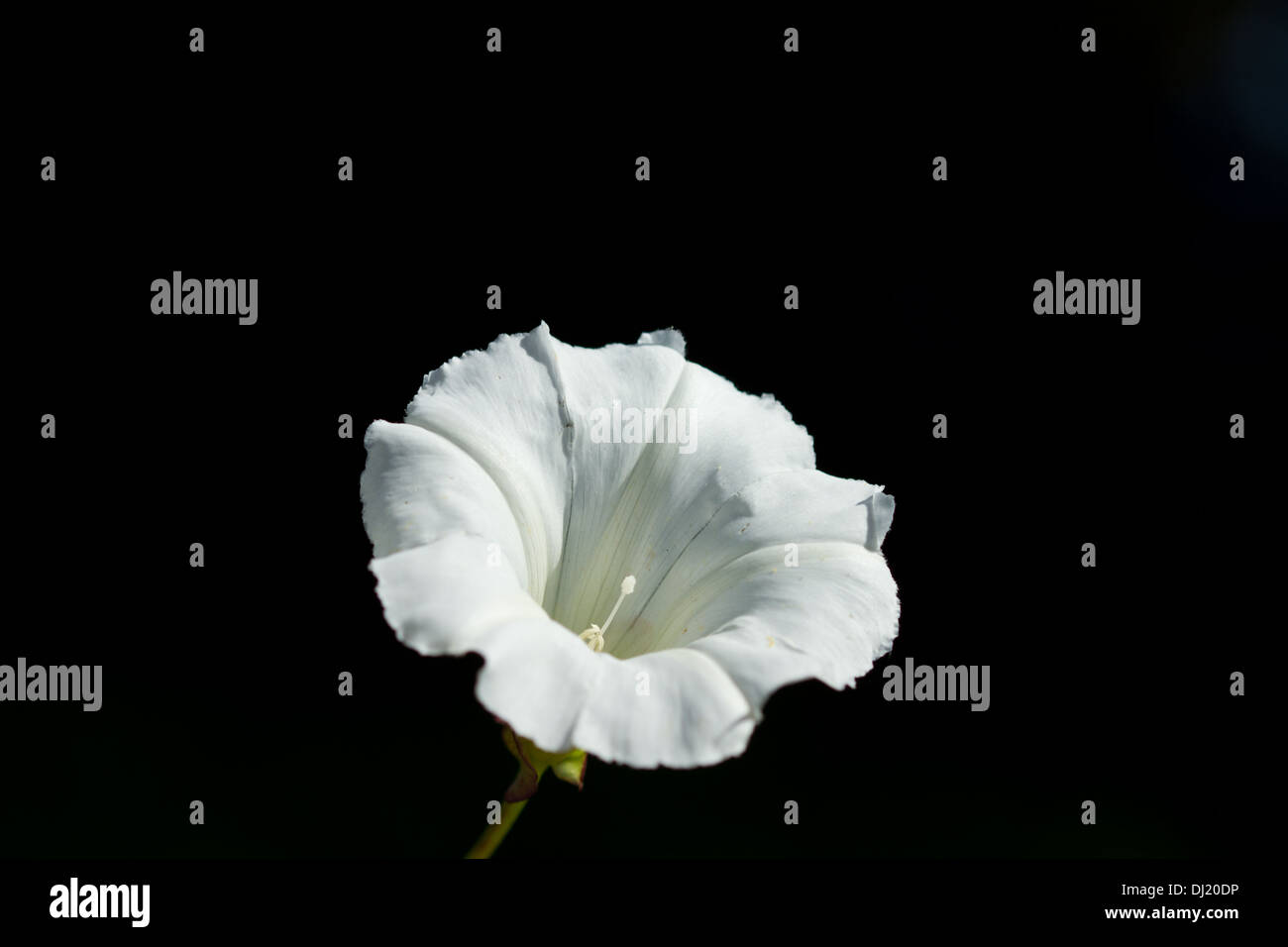Convolvulus bindweed white flower stock photos convolvulus white flower of convolvulus arvensis commonly called bindweed stock image mightylinksfo