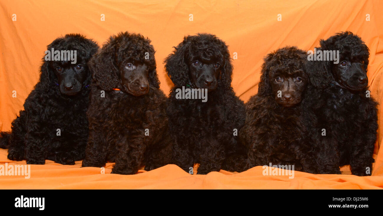Poodle Pup Stock Photos Poodle Pup Stock Images Alamy