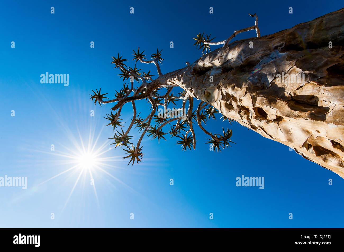 Quiver tree. Stock Photo
